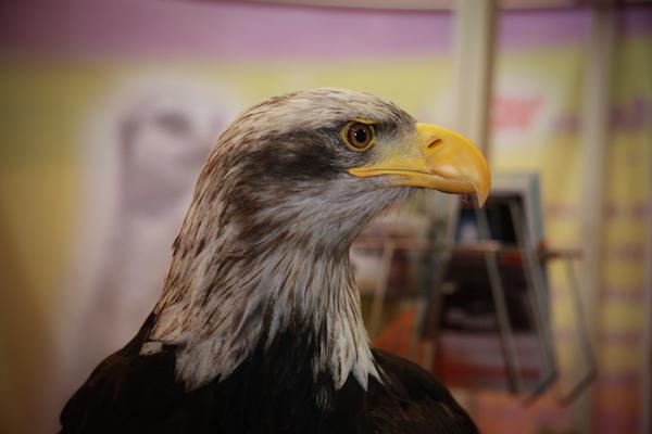 EIKA, Weisskopf Seeadler (Aufzucht) besuchte uns ebenfalls auf der IWA