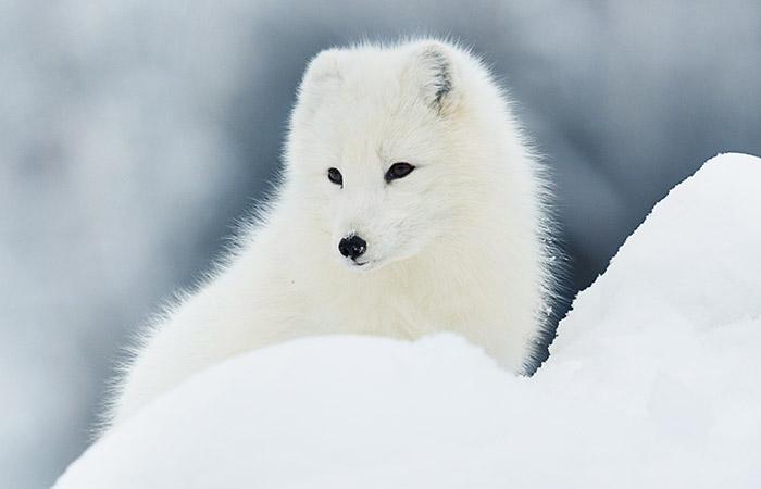 Starker Einsatz für den Polarfuchs
