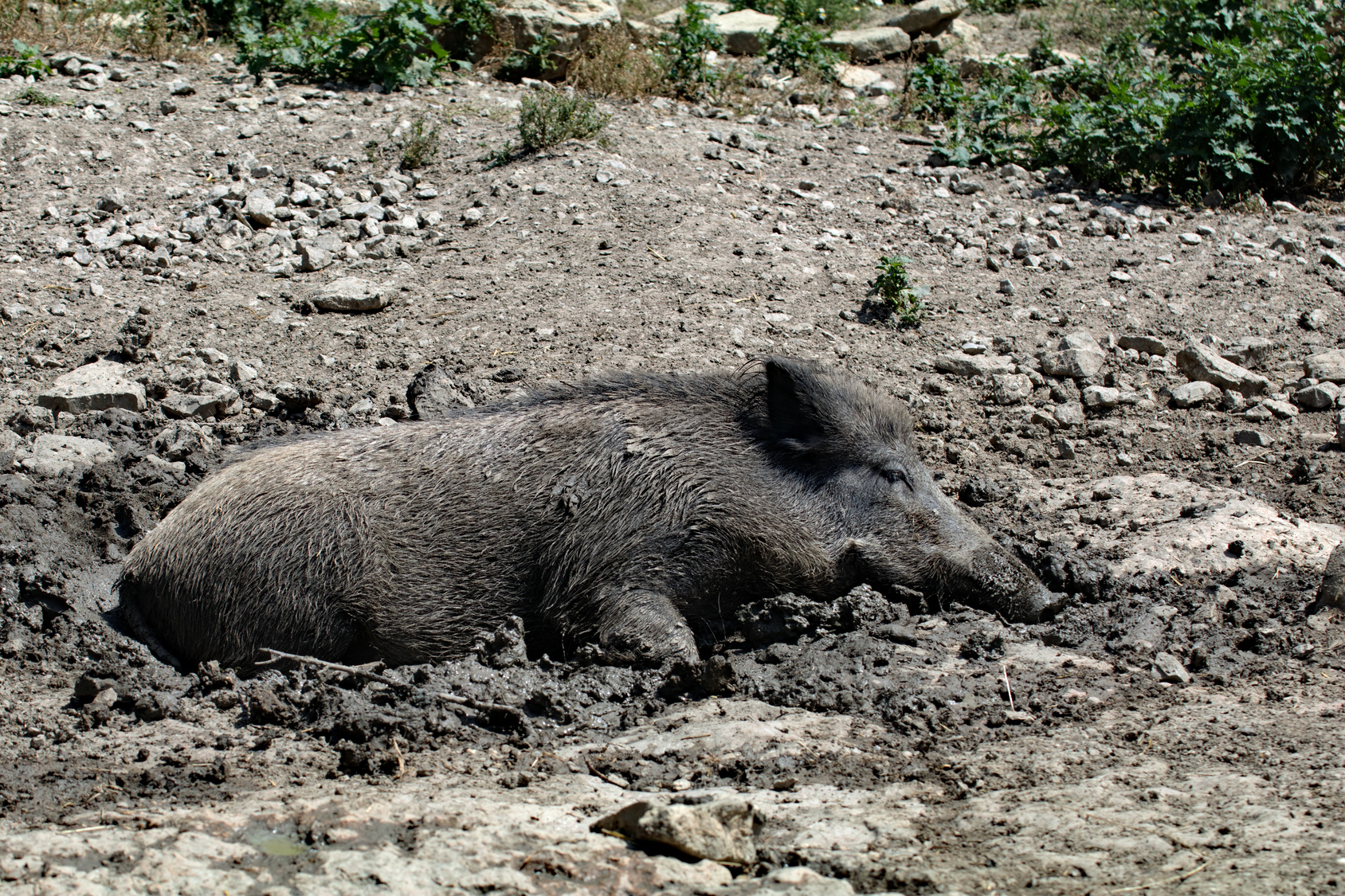 Wildschwein in der Suhle