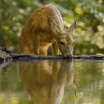 Rehwild an der Wildtränke
