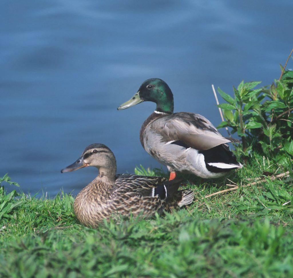 Stockentenpaar (©R.Siegel/piclease)