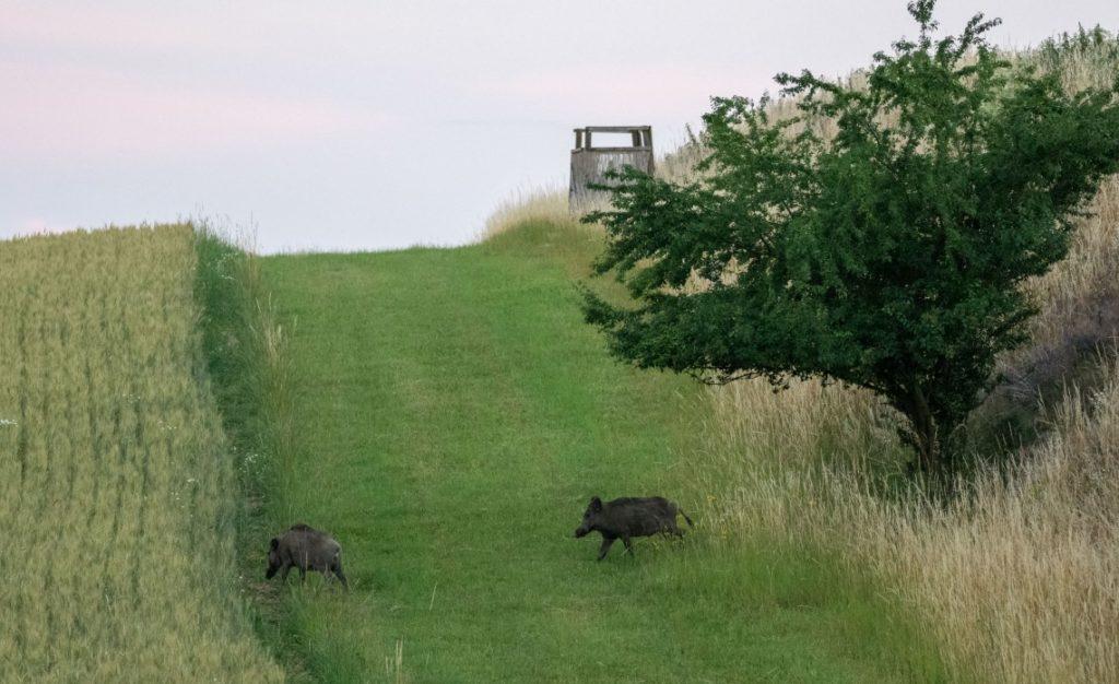 Wildschweine am Feld