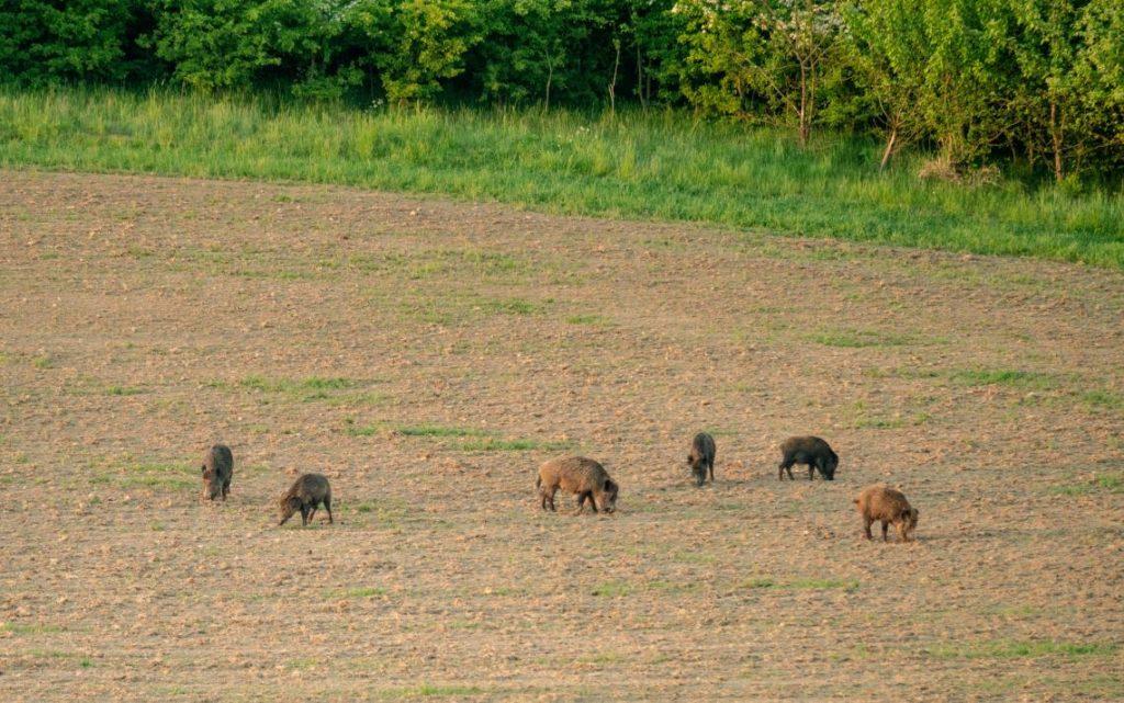 Wildschweine auf Acker