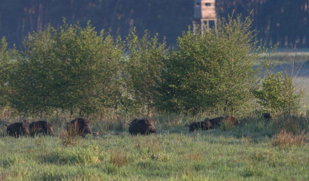 Wildschweine auf Wiese
