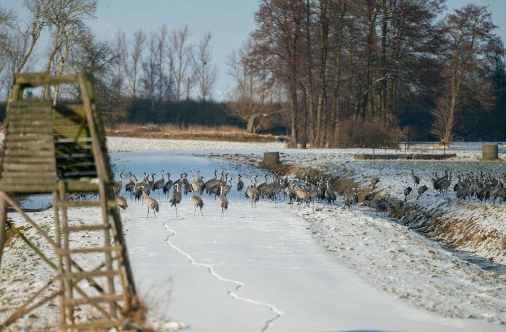 Kraniche im Winter
