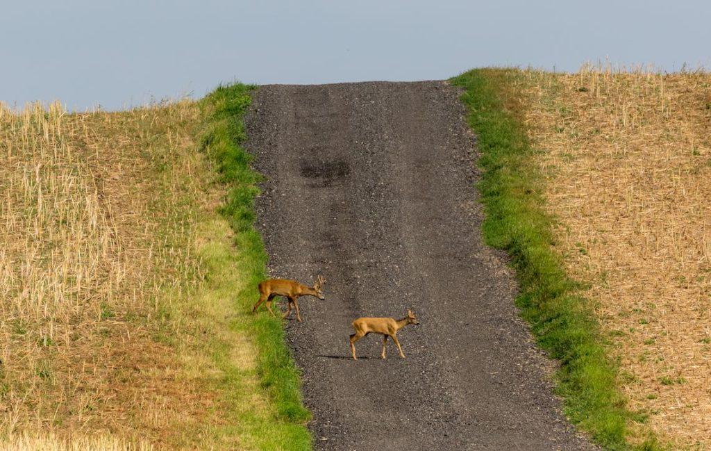 Rehe auf Schotterweg durch Stoppelfeld
