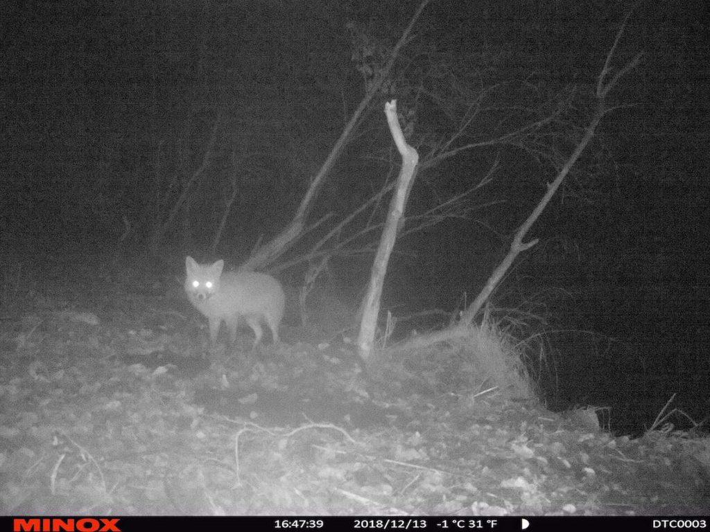 Leuchtender Fuchs