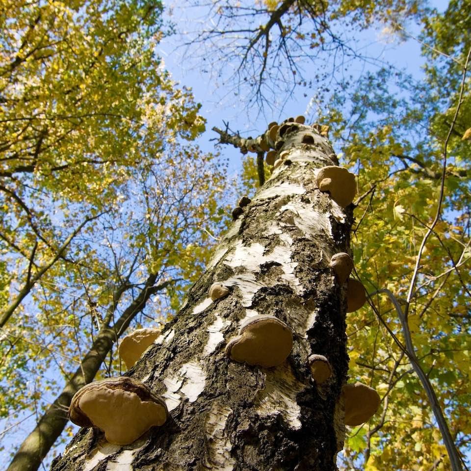 Birkenstamm mit Baumpilzen (©R.Achtziger/piclease)
